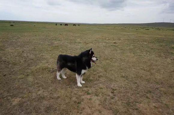 带阿拉斯加去草原玩很开心,回来立刻就给它换了个凉爽的造型