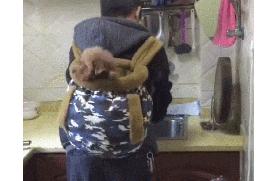 曾经不喜欢狗的老爸,如今做饭都要背着小泰迪,把它当孙子疼