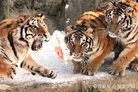 """老虎放归野外之前,为何要给它们设置""""禁食日""""?不怕饿坏了吗?"""