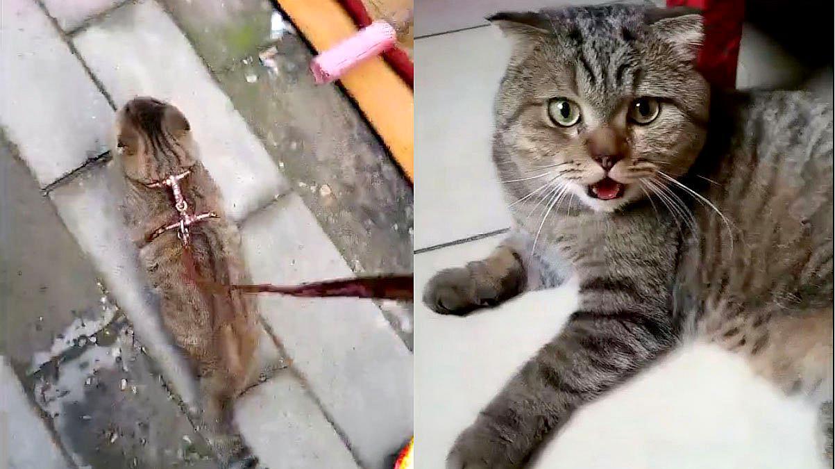没想到遛个弯让猫咪承受这么大压力,看到这表情我还是忍不住笑了