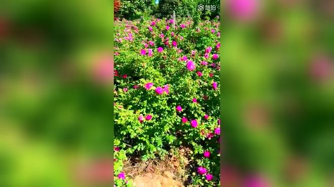 大片的玫瑰花
