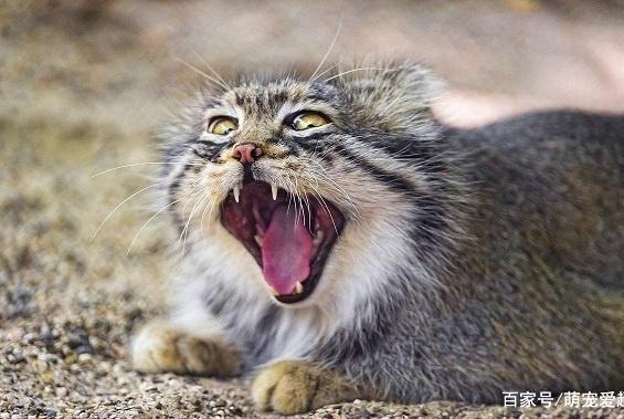 世界上战斗力最强的猫品种,哪种猫打架最厉害绝对让你意想不到!