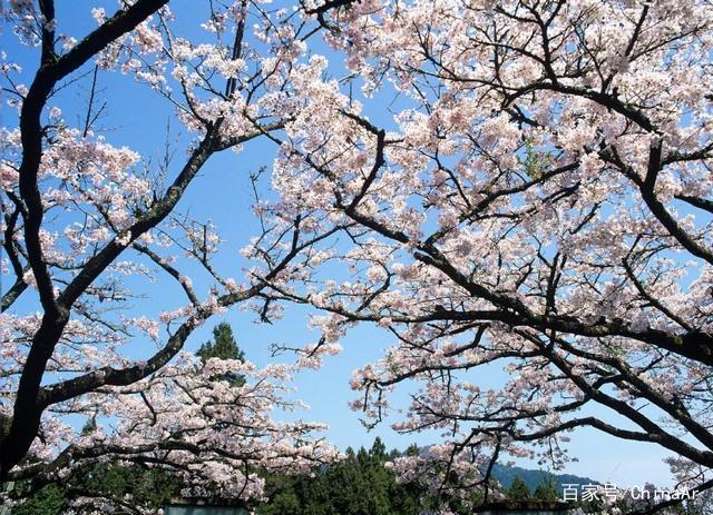 2019年最新阿里山花季时间、赏樱路线、阿里山景观民宿推荐 推荐 第1张