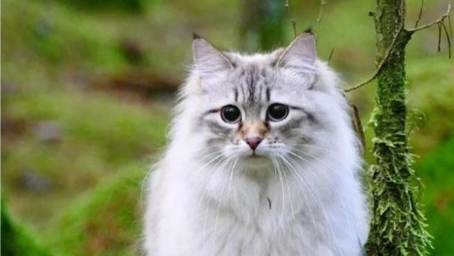 一只貌美的大猫,就像从森林里走出来的小精灵一样