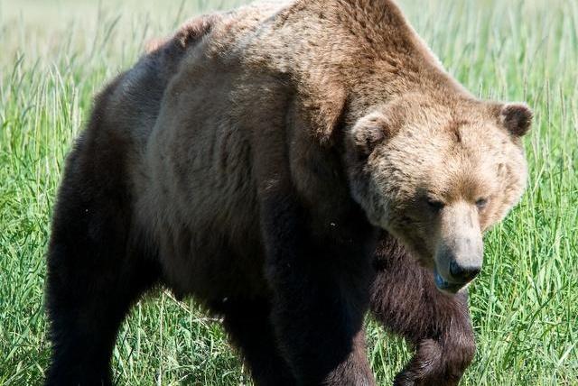 北极熊和阿拉斯加棕熊,究竟谁是最大的陆地食肉动物?