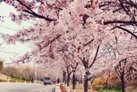 """青岛海洋大学""""最美的校花"""",天然的樱花隧道,游客:花的海洋"""