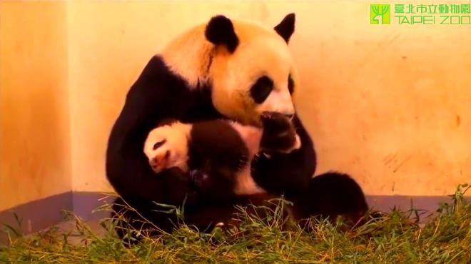 壁纸 大熊猫 动漫 动物 卡通 漫画 头像 660_370