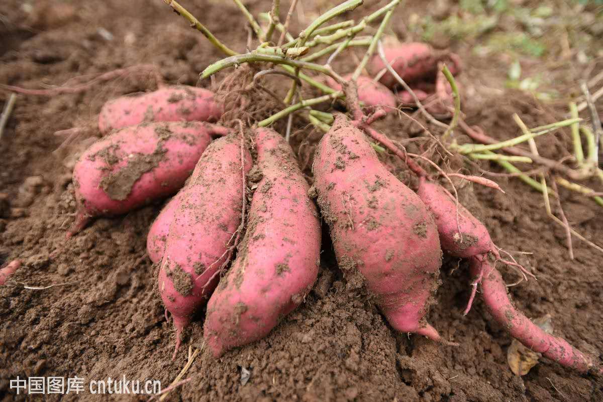 关于红薯栽培技术,想要高产并不难,以下几点你要注意图片