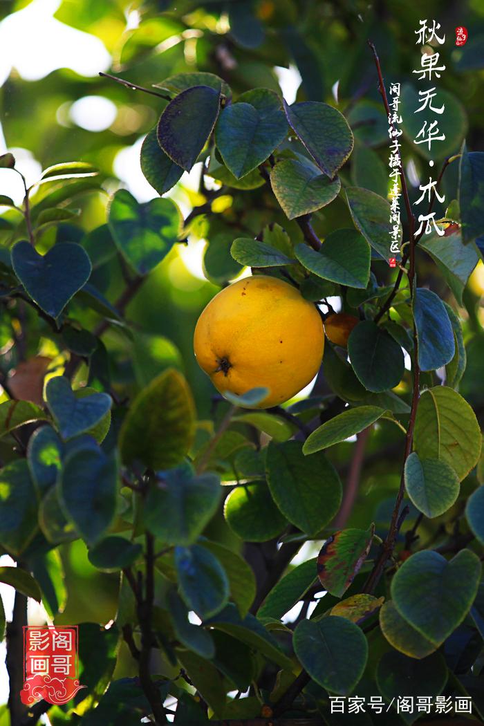 光皮木瓜别名降龙木,风水树,香瓜,木瓜,榠楂,木李,木梨.