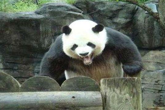 为什么熊猫这么强却不吃肉,看上去也很弱呢?原来是身体不允许!