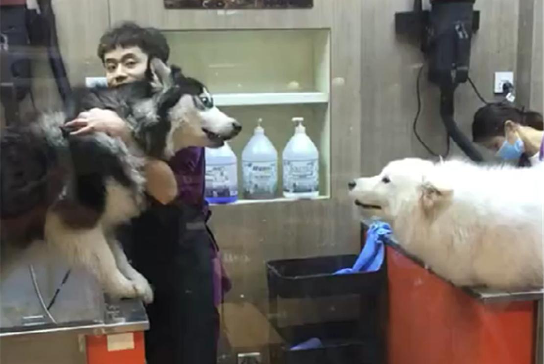 阿拉斯加和萨摩在宠物店吵架,阿拉:都是三傻,你见不得比我聪明