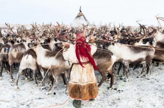 有的人一直认为养的驯鹿叫做驯鹿,但是直到走进中国这个众所周知寒冷的地方才知道事情并不是这个样子的,他长得既像鹿又像牛,其实他并不是鹿也不是牛,他也有一个非常奇怪的名字,叫做四不像,俗称驯鹿。  如果去到内蒙古的北边,你和他们当地人提到驯鹿都会和你讲的鄂温克族,因为这个民族都是和驯鹿生活在一起的少数民族。而当地的鄂温克人主要是生活在俄罗斯西伯利亚极其寒冷的地区,以及中国的内蒙古和黑龙江。在内蒙古根河大兴安岭生活着一支有200多人的奥鲁古雅鄂温克民族。  由于他们当地的族人都是靠打猎为生,所以他们没有固定的