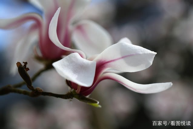 北京之春已来临:玉兰亭亭迎春风