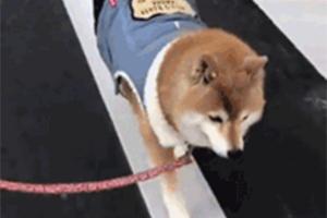 网友无奈表示:家里的柴犬有特殊的癖好,出门必须这样走!