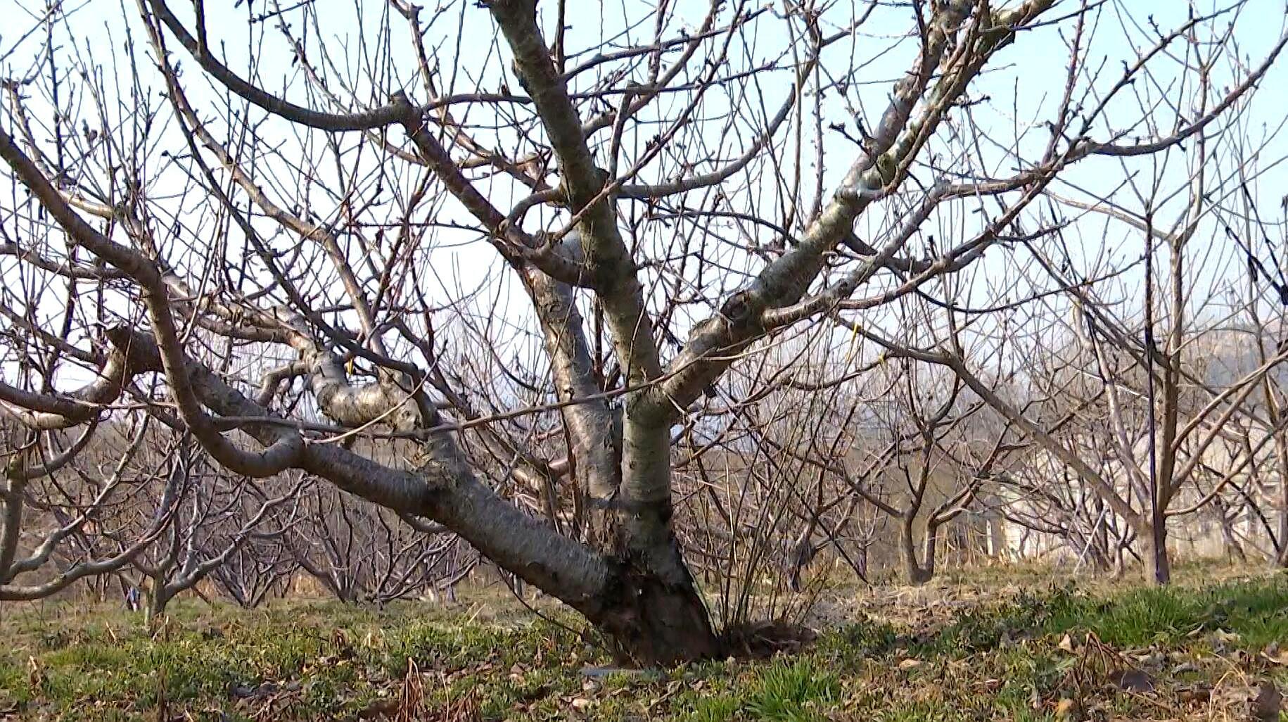 双减项目在行动 大樱桃春季管理要点都有哪些