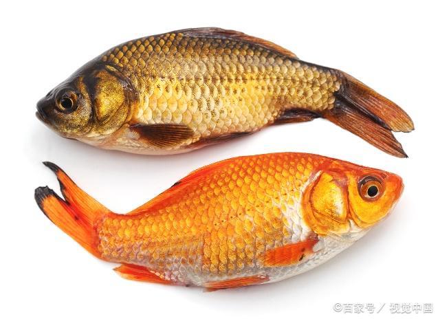 鲤鱼在很多时候都是作为一种食物上桌的图片