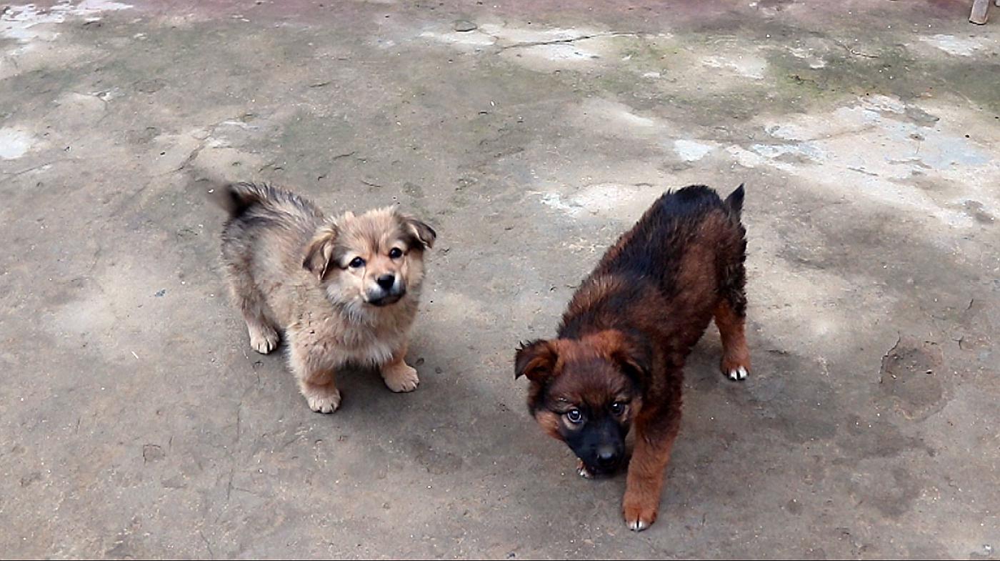 老妈蒸了一大锅农家包子,两只小狗崽吃完一块想两块……