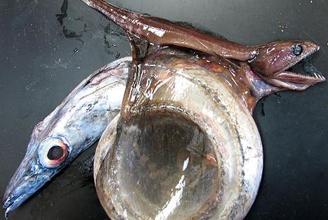 深海动物比海洋表层大吗?科学家:小多了!