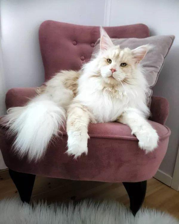 缅因猫,又称缅因库恩猫,是世界上最大的家养猫品种之一,它们可以长到1