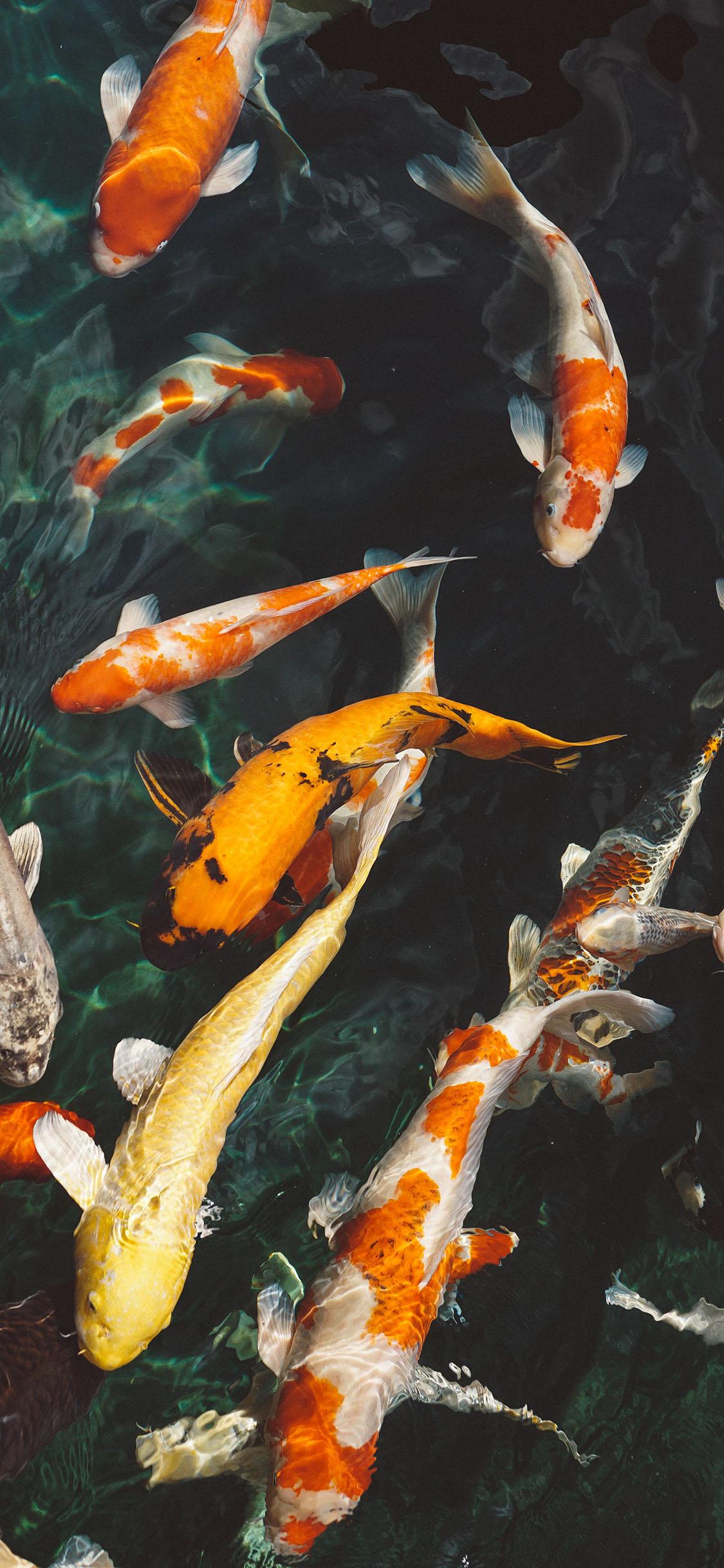 壁纸 动物 鱼 鱼类 1125_2436 竖版 竖屏 手机