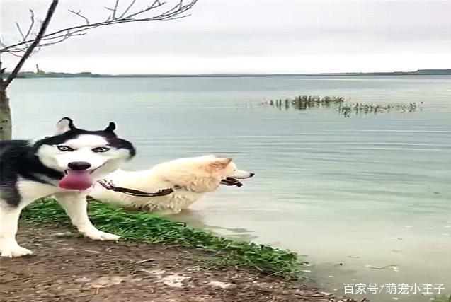 萨摩试图带着哈士奇游泳,却遭到二哈奋力反抗,傻也需要相互克制