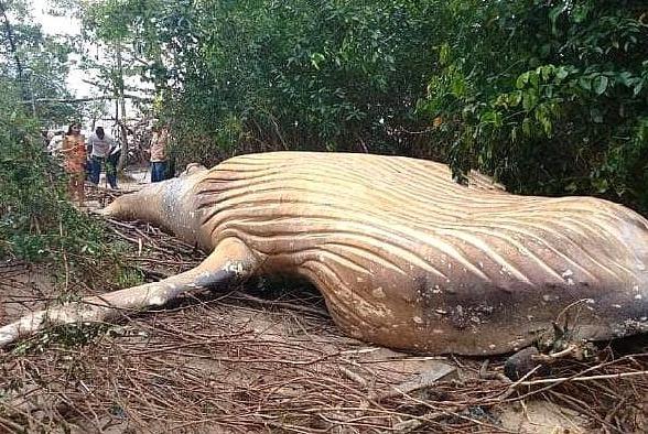 鲸鱼是天生的路痴吗?8米长座头鲸现身亚马逊丛林,科学家都懵了