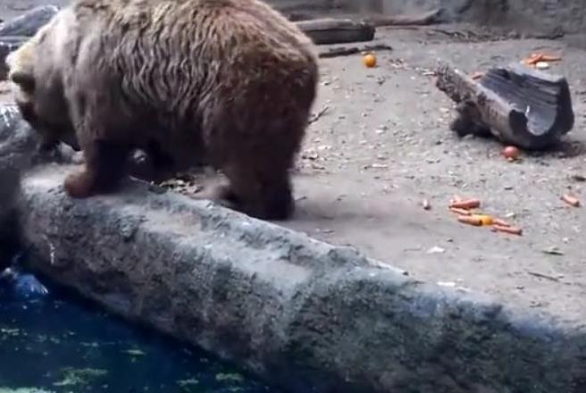 乌鸦落入水中命悬一线,棕熊赶忙伸手搭救,结局却让人倍加意外