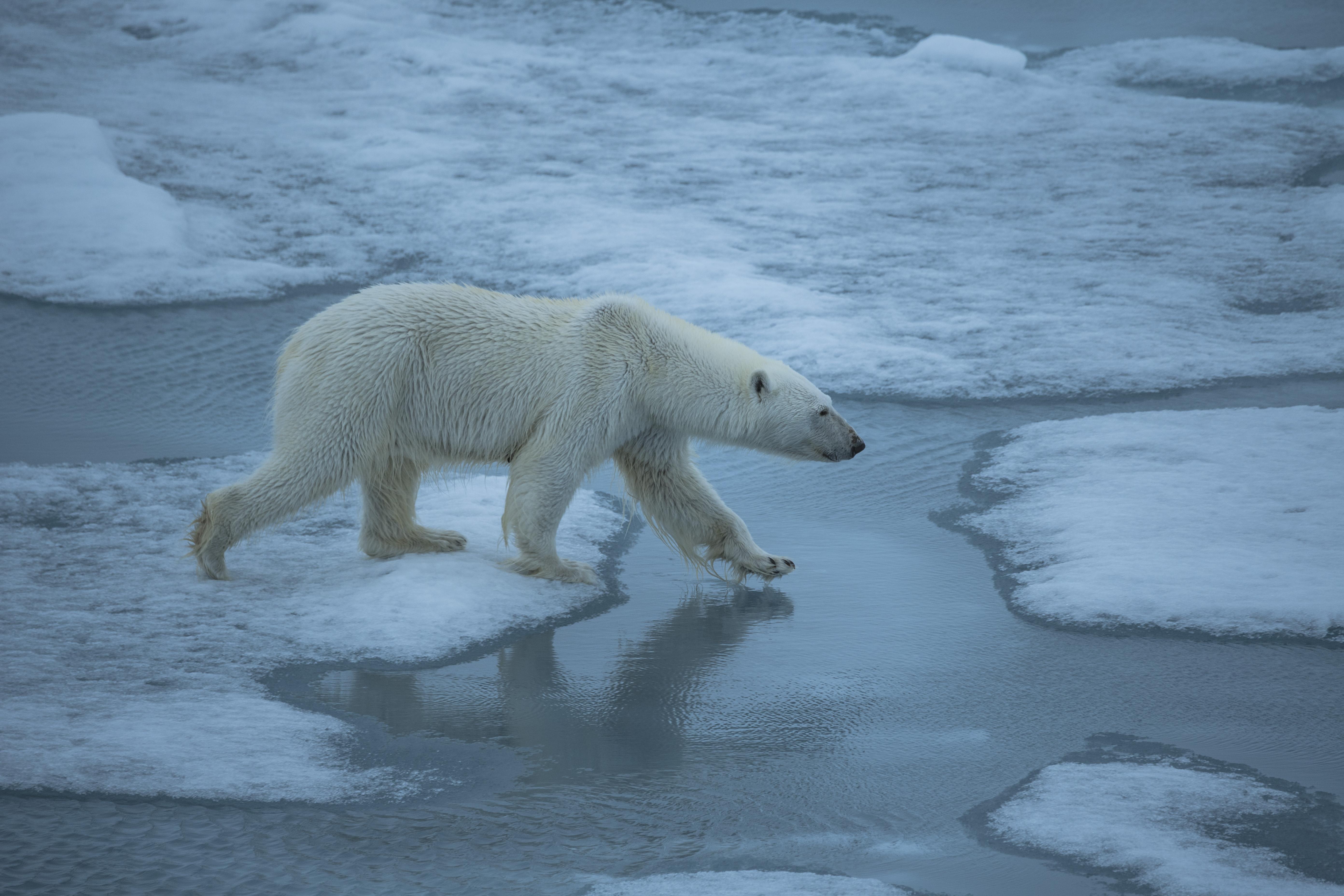 北极圈创纪录32度恐龙,那些在北极的北极熊现在所有高温的简笔画图片