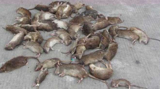 用药是灭不完老鼠的,教你一个农村土方法,老鼠连窝一锅端!