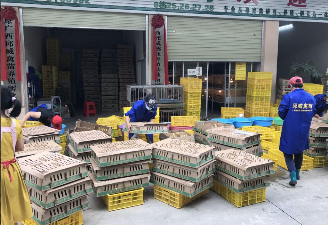 邱威禽苗员工给种苗打包准备发货