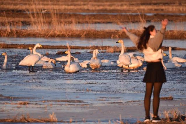 这个春天旅游来海拉苏吧,人与天鹅近距离互相欣赏