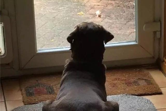 狗狗靠自残来宣泄孤独,直到主人弄了个假人回来……