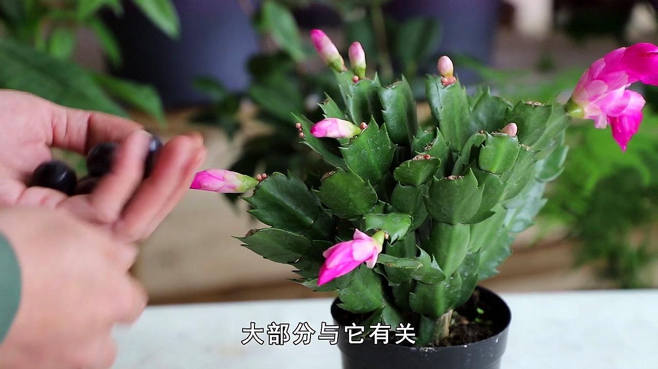 如何养蟹爪兰会让蟹爪兰的花苞长得多?