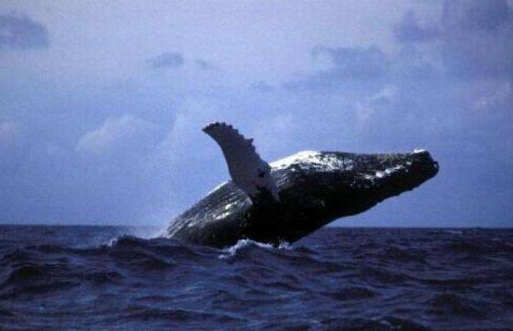壁纸 动物 海洋动物 鲸鱼 桌面 562_362