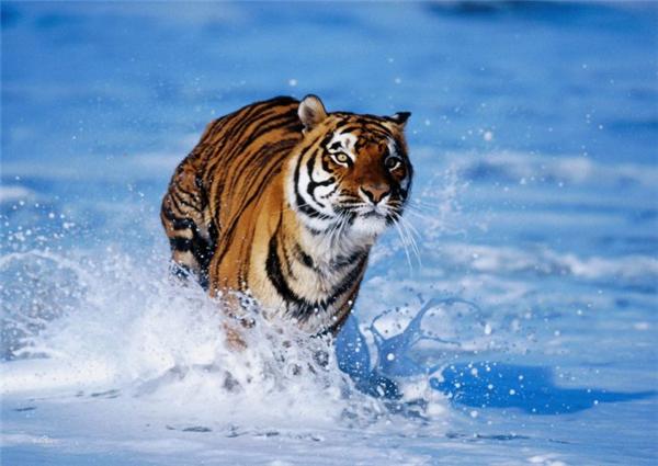 你是不是虎_老虎你知道多少?老虎其实分为这么多个亚种