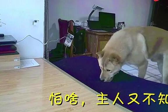 狗狗屡次爬床被抓,自知在劫难逃,汪:来吧,我准备好