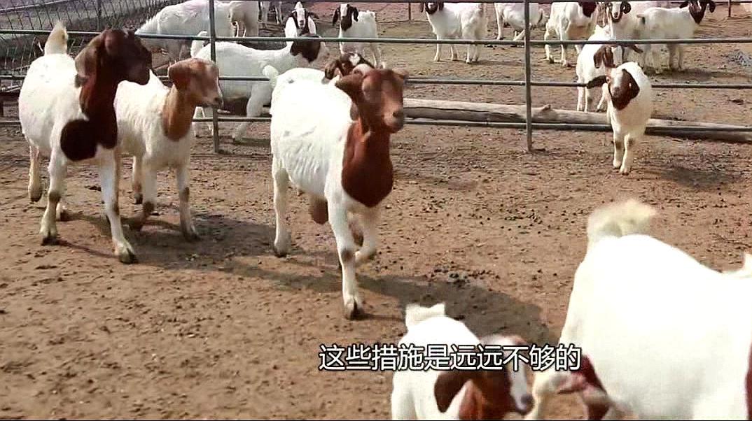 农民养羊能发赚钱?这些免费天然饲料是保底宝贝,用好想赔钱都难