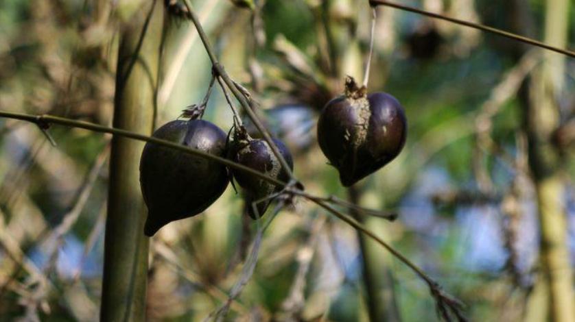 50年才能结一次果,种子掉地上就能发芽,如果遇见请珍惜