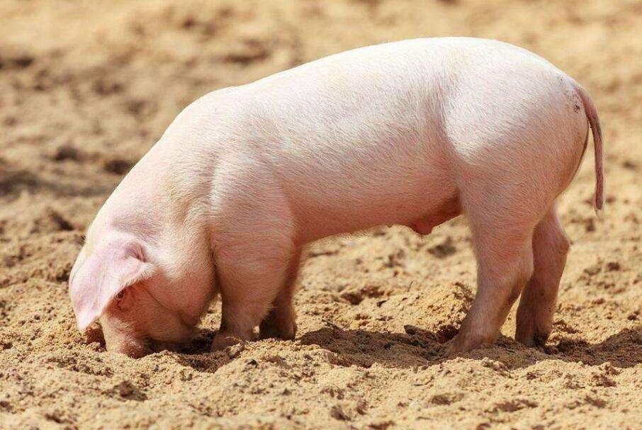 疫情仍在扩散,加工流通环节猪瘟检测或在短期内平抑猪肉价格上涨