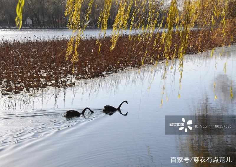 2018年12月4日,北京天气晴好,在皇家园林圆明园湖畔,一簇簇芦苇随风摇曳,黑天鹅在水中徜徉,呈现出一幅别样迷人的冬日景致,美不胜收。 转载自百家号作者:穿衣有点范儿  2018年12月4日,北京天气晴好,在皇家园林圆明园湖畔,一簇簇芦苇随风摇曳,黑天鹅在水中徜徉,呈现出一幅别样迷人的冬日景致,美不胜收。 转载自百家号作者:穿衣有点范儿  2018年12月4日,北京天气晴好,在皇家园林圆明园湖畔,一簇簇芦苇随风摇曳,黑天鹅在水中徜徉,呈现出一幅别样迷人的冬日景致,美不胜收。 转载自百家号作者:穿衣有点