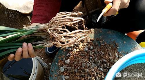 空系_然后修剪一下空根烂根以及过长的根系.把它的黄叶烂叶也修剪一下.