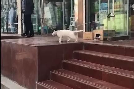 猫咪被拴在超市门口,却意外走出太空步,猫:魔鬼的步伐!