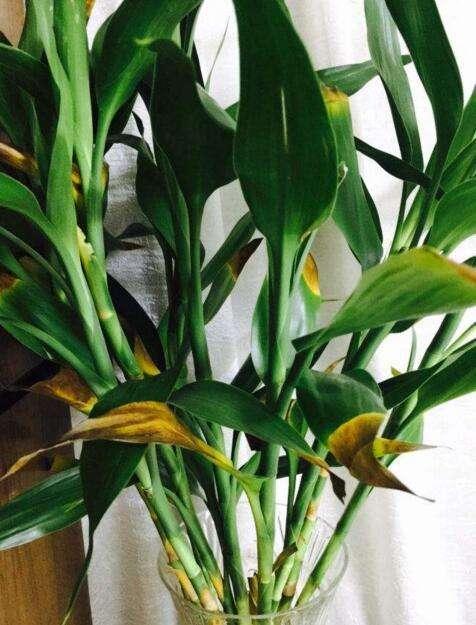富贵竹叶子发黄怎么办?只需1滴药水,恢复生机绿油油图片