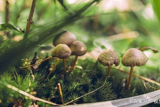 吃蘑菇会引起重金属中毒吗?