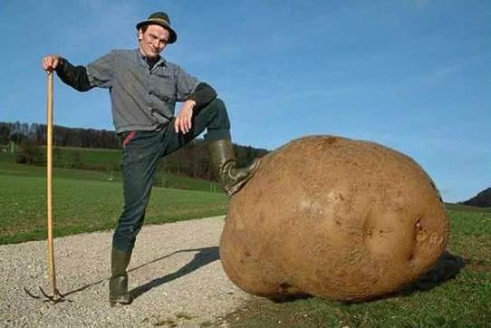 这里的蔬菜都异常高大,篮球大小的土豆、2米高的豌豆,你见过吗