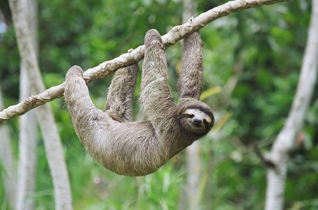 树懒行动如此缓慢,怎样在恶劣的环境中活下来?网友:涨知识了