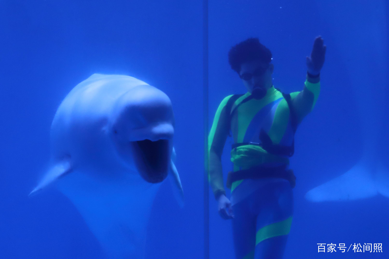 哈尔滨极地馆推出的极地白鲸海洋之心水下表演,是世界唯一的极地白鲸水下表演,驯养师与两头名为米拉和尼克拉的极地白鲸组成海洋之心,上演浪漫的天使之吻。(组照摄于2018年11月)  哈尔滨极地馆是世界首座极地演艺游乐园,中国唯一一家以娱乐表演为主题的极地馆,在这里可以看到世界唯一的极地白鲸水下表演。  白鲸吐出天使光环,祈福美丽人生。两只白鲸和两位白鲸驯养师,在蓝色的水底光线下,加上电影《泰坦尼克号》主题音乐《我心依旧》的衬托,摆出的海洋之心的造型。  白鲸穿越自己吐出的天使光环。据介绍,白鲸