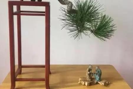 爱木盆景I 黑松家庭养护小记