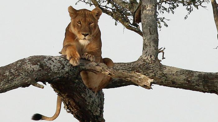"""狮子会爬树吗?塞伦盖蒂的""""狮子树""""上结了七只狮子"""