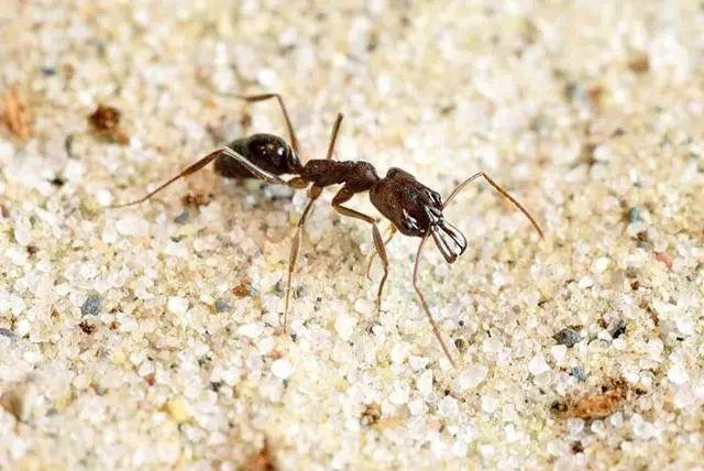 猎头蚁酷爱将敌人斩首并收集头颅,却难逃沦为奴隶的命运